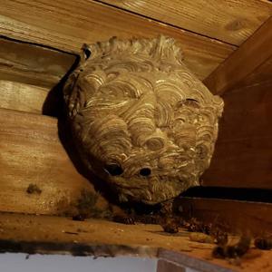 屋根裏にあるスズメバチの巣
