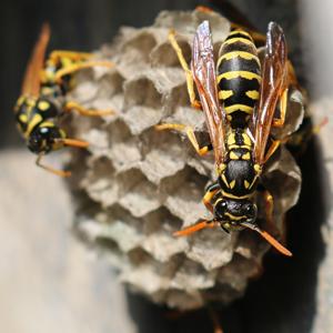 高い所にあるアシナガバチの巣
