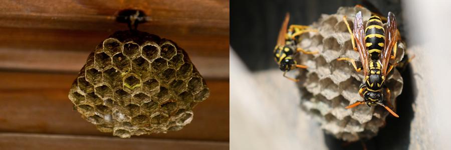 アシナガバチの巣を駆除