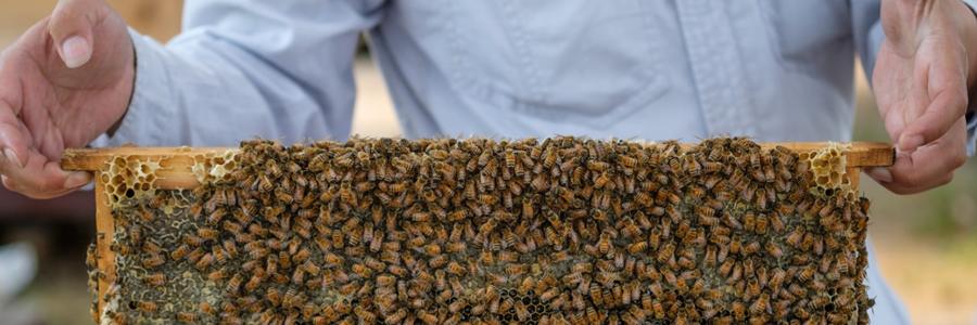 アシナガバチ・スズメバチよりも危険性が低いミツバチですが、やはり毒針はあります。養蜂家の方は安全なのでしょうか。。。