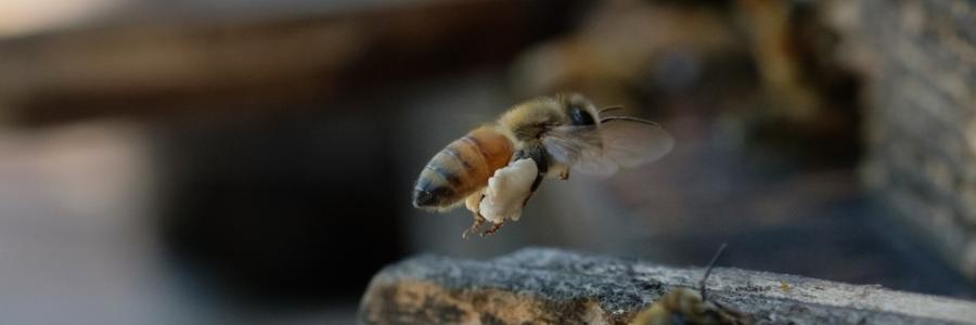 養蜂に使われるのはセイヨウミツバチになります。ニホンミツバチは住み替えなどをしてしまうらしく養蜂するのが難しいミツバチらしいです。